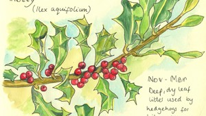 Hedgerow Species #9 - Holly