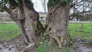 Do Ivy and Other Structures Impact Ancient Trees?