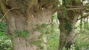 Ancient Ash Trees in North Cornwall