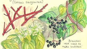 Hedgerow Species #10 - Dogwood